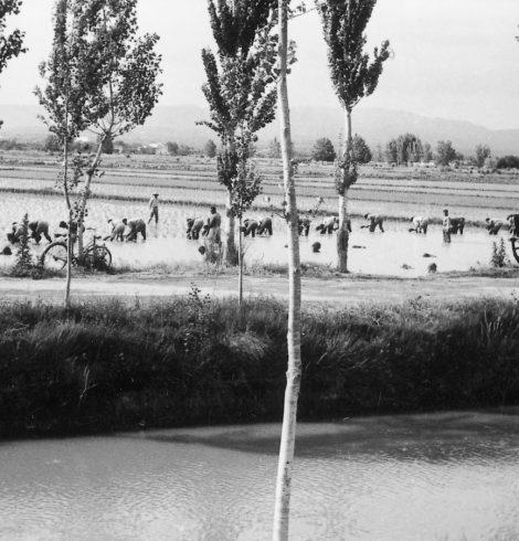 """Canal i colla plantant arròs (anys 50) // Font: Col·lecció """"Imatges i records. Deltebre"""", Viena Edicions, 2003."""